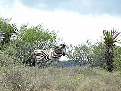 Thembalethu Safaris Game viewing